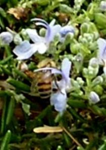 A Bee Enjoying a Rosemary Bush